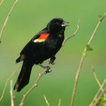 Photo of Red-Winged-Blackbird