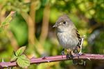Willow Flycatcher by Becky Matsubara