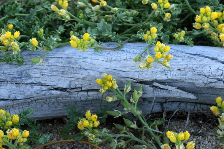 Tahoe Yellow Cress - USDA Forest Service