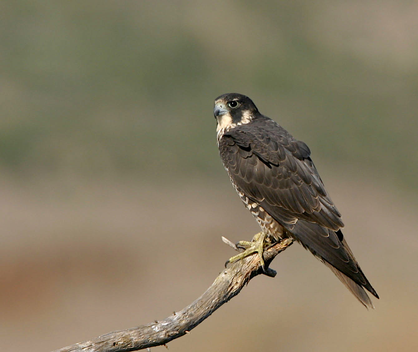 Peregrine Falcons Return to Eagle Rock