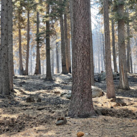 Forest after the Caldor Fire